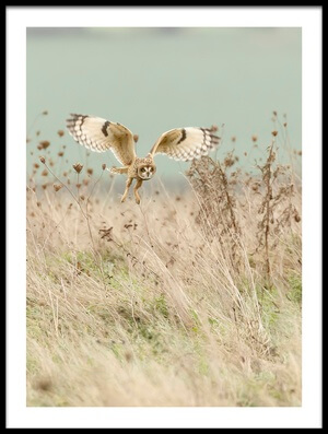 Art print titled Hunting Short Eared Owl by the artist Prashant Meswani