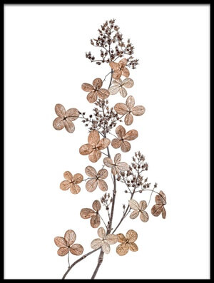 Art print titled Hydrangea Paniculata by the artist Mandy Disher