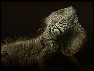 Buy this art print titled Iguana Profile by the artist Aleksandar Milosavljević