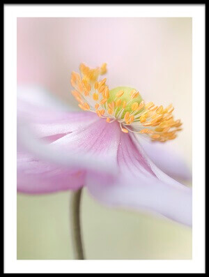 Buy this art print titled Japanese Anemone by the artist Mandy Disher