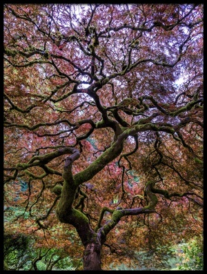 Buy this art print titled Japanese Maple Tree by the artist Mike Centioli