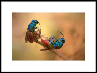 Art print titled Jewel Wasps by the artist Jimmy Hoffman