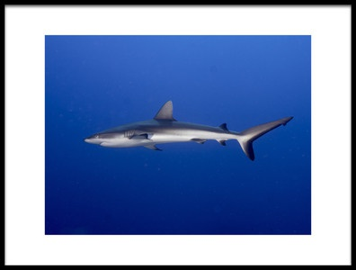 Art print titled Juvenile  Grey Reef Shark Carcharhinus Amblyrhynchos by the artist Ilan Ben Tov