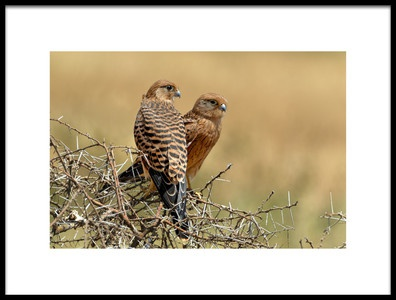 Art print titled Kestrels Couple by the artist Nicolás Merino