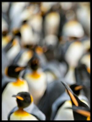 Buy this art print titled King Penguin Displaying II by the artist Joan Gil Raga
