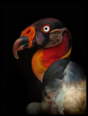 Buy this art print titled King Vulture-Sarcoramphus Papa by the artist Ferdinando valverde