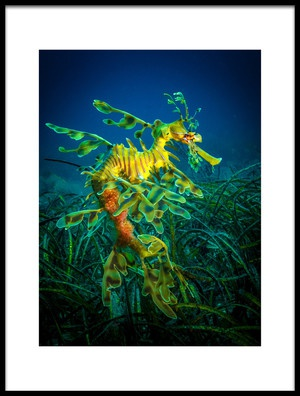 Buy this art print titled Leafy Sea Dragon  Male With Eggs by the artist Jan Abadschieff