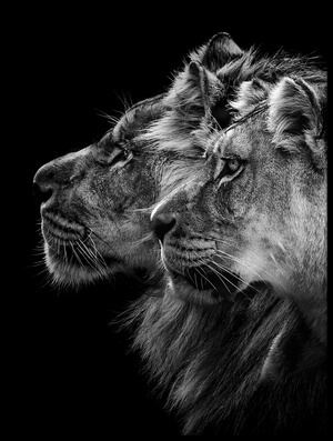Buy this art print titled Lion and  Lioness Portrait by the artist Laurent Lothare Dambreville