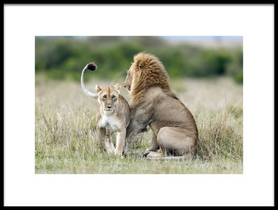 Art print titled Lioness Tempting for the Mating by the artist Roshkumar