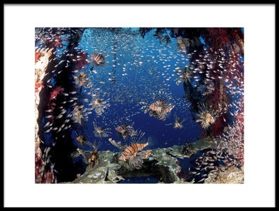 Art print titled Lionfish Party by the artist Ilan Ben Tov
