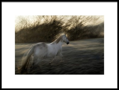 Art print titled Lipizzan Foal by the artist milan malovrh
