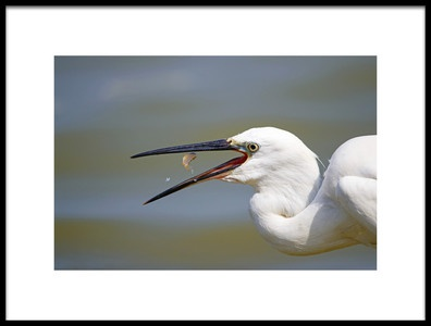 Art print titled Little Egret With Lunch by the artist Shlomo Waldmann