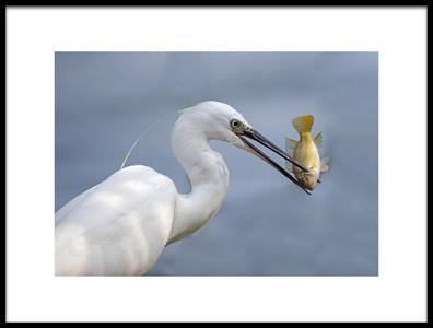 Art print titled Little Egret With Tilapia by the artist Shlomo Waldmann