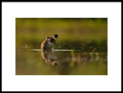 Art print titled Little Grebe by the artist Assaf Gavra