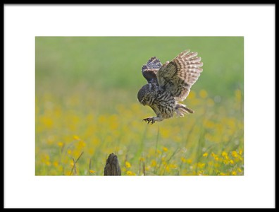 Art print titled Little Owl In a Spring Meadow by the artist Ray Cooper