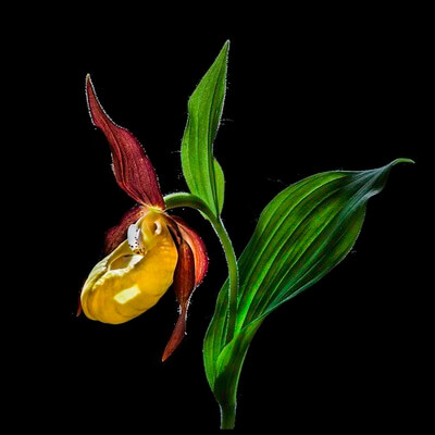 Buy this art print titled Macro Close-Up Photograph of the Lady's Slipper Orchid  ('Venus' Shoes') Flower In the Wild © N by the artist Nora De Angelli