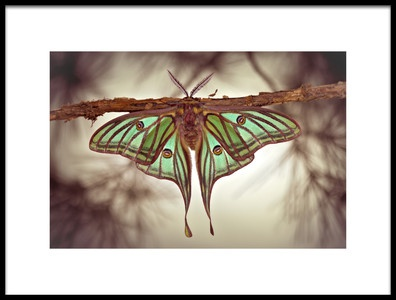 Art print titled Mariposa Isabelina by the artist Jimmy Hoffman