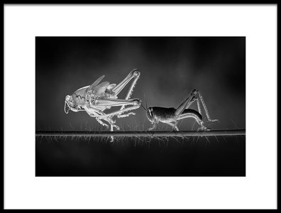 Buy this art print titled Molting Grasshopper by the artist Adhi Prayoga