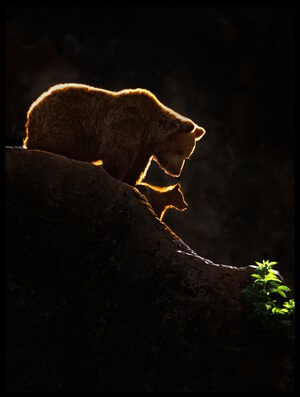 Buy this art print titled Mom Bear With Cub by the artist Xavier Ortega
