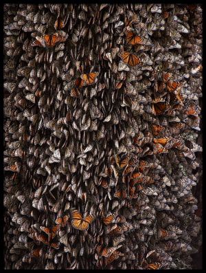 Buy this art print titled Monarch Butterflies During Hibernation by the artist ignacio arcas