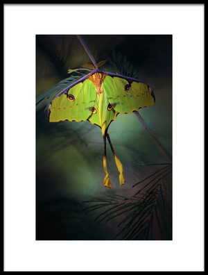 Art print titled Moon Moth by the artist Jimmy Hoffman