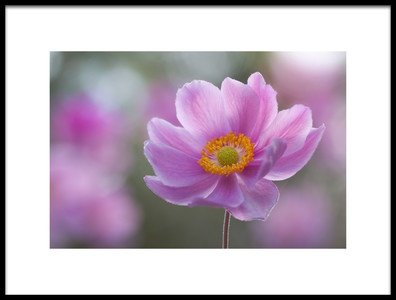 Art print titled Morning Anemone by the artist Steve Moore