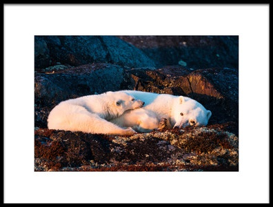 Art print titled Mother and Cub Are Resting at Sunset by the artist Giorgio Disaro