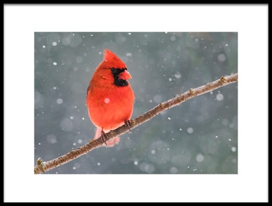 Art print titled Mr Cardinal In the Snow by the artist LM Meng