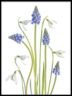 Buy this art print titled Muscari and Galanthus by the artist Mandy Disher