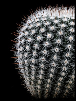 Buy this art print titled Notocactus Scopa by the artist Victor Mozqueda