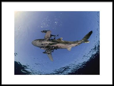 Art print titled Oceanic White Tip Shark by the artist Ilan Ben Tov