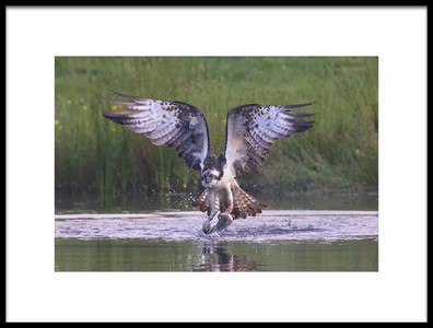 Art print titled Osprey by the artist Ray Cooper