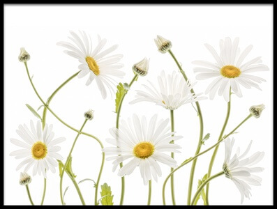 Art print titled Ox Eye Daisies by the artist Mandy Disher