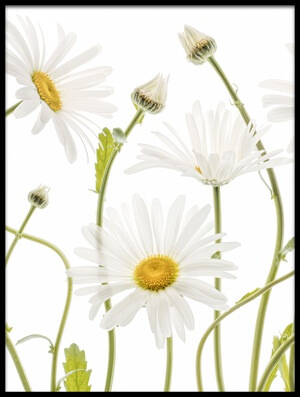 Buy this art print titled Ox Eye Daisies II by the artist Mandy Disher