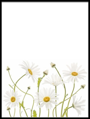 Art print titled Ox Eye Daisies III by the artist Mandy Disher