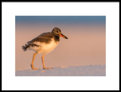 Art print titled Oystercatcher Baby by the artist LM Meng