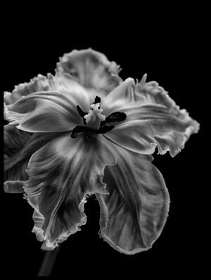Buy this art print titled Parrot Tulip by the artist Lotte Grønkjær