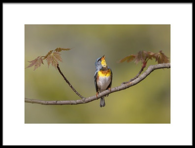 Art print titled Parula On Stage by the artist Greg Barsh