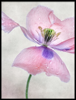 Buy this art print titled Pastel Poppy by the artist Mandy Disher
