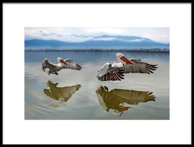 Art print titled Pelicans Flying by the artist Xavier Ortega