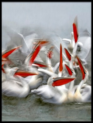 Buy this art print titled Pelicans In Motion Blur by the artist Xavier Ortega