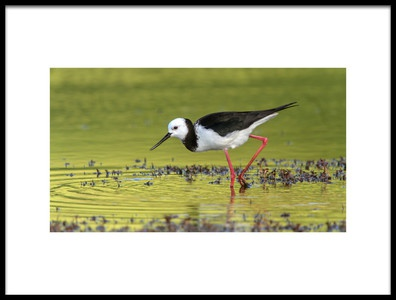 Buy this art print titled Pied Stilt 02 by the artist Kurien Yohannan