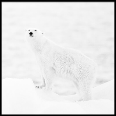 Art print titled Polar Bear In B&w by the artist Joan Gil Raga