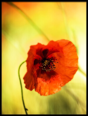 Art print titled Poppy With Pistils by the artist Nicodemo Quaglia
