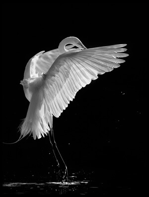 Art print titled Portrait of a Great White Egret by the artist Kevin Wang