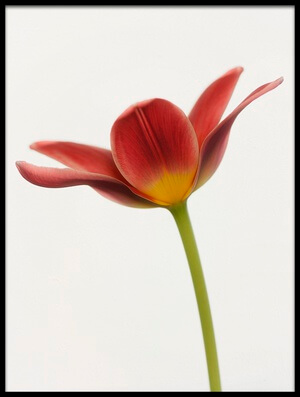 Buy this art print titled Portrait of a Tulip by the artist Lotte Grønkjær
