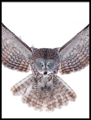 Buy this art print titled Power - Great Grey Owl by the artist Jim Cumming