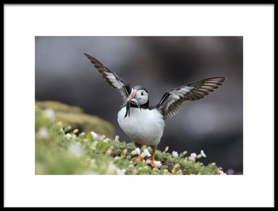Art print titled Puffin With Sand Eels by the artist Hugh Wilkinson