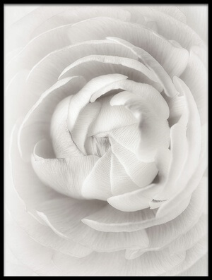 Buy this art print titled Ranunculus by the artist Lotte Grønkjær