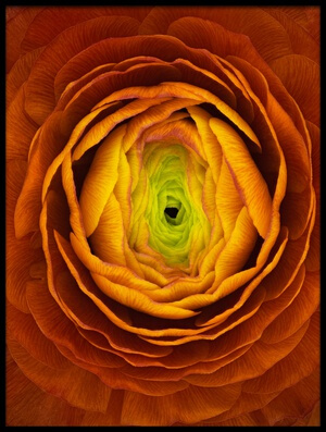 Buy this art print titled Ranunculus Asiaticus by the artist Victor Mozqueda